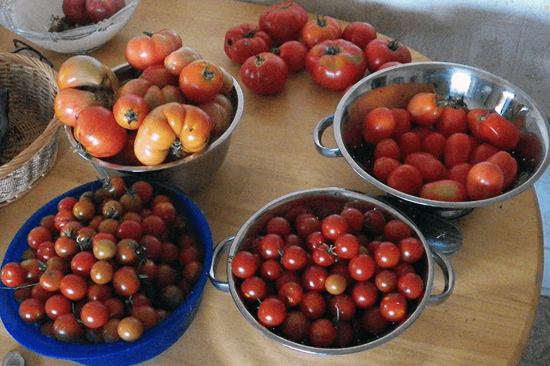 Plant of the Week: Pollock Tomatoes