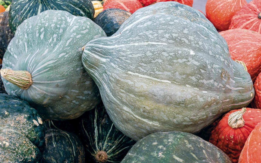 Plant of the Week – Hubbard Squash