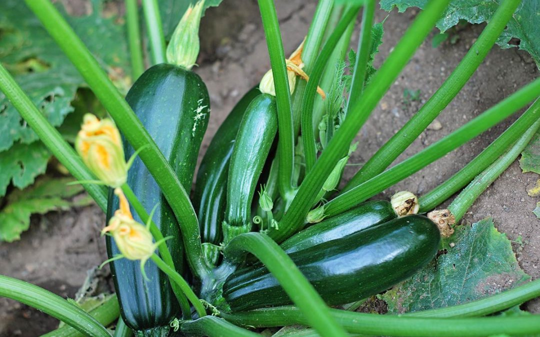Plant of the Week: Endeavor Squash Zucchini