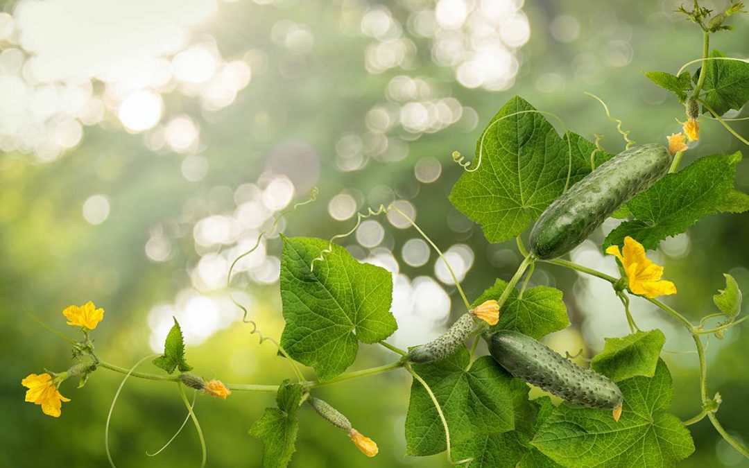 Plant of the week: Straight-eight Cucumbers