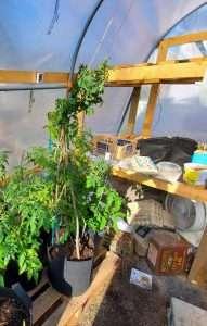tall cherry tomato plant in 5 gallon fabric pot